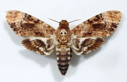 deaths-head-hawkmoth.jpg